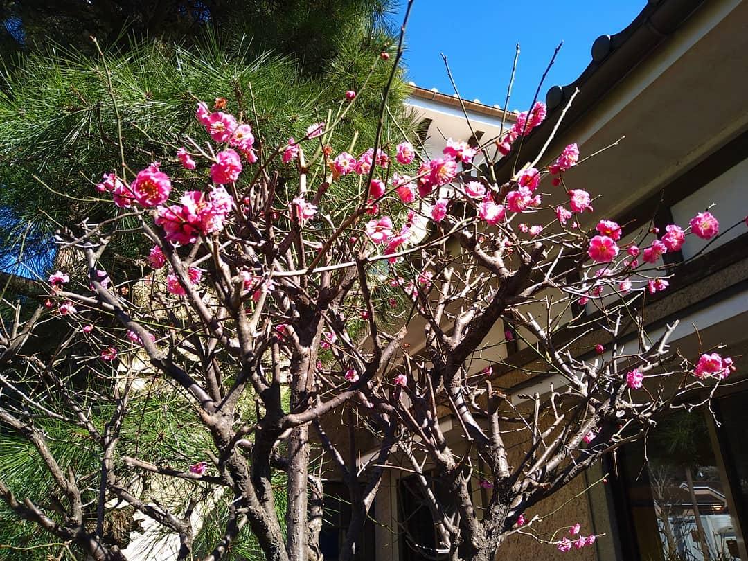 少しずつ春の訪れを感じる気候になってきましたね お店の庭に梅が綺麗に咲いてきました。 もちろん客席からも見えます♪️  本日も元気に営業致しますので、心よりご来店をお待ちしております。